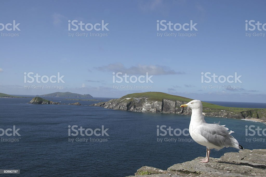 Seagull on Irish cliff royalty-free stock photo