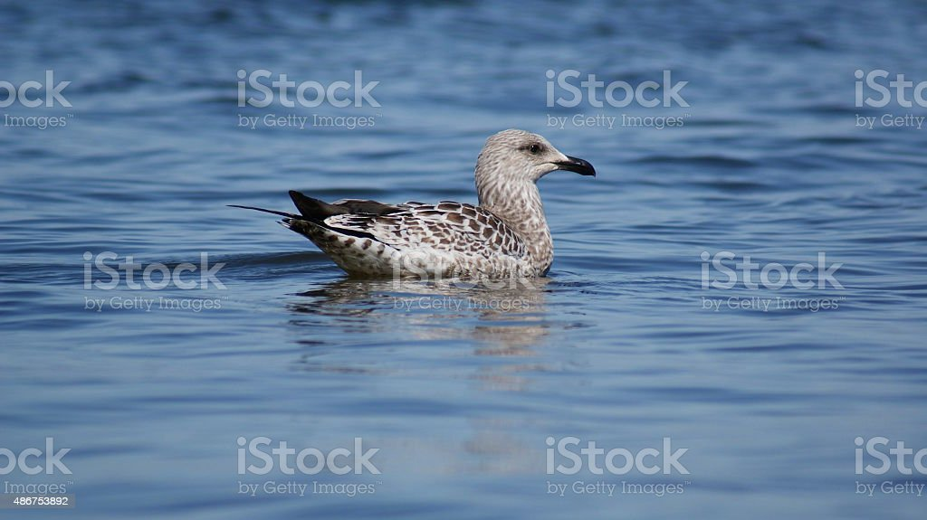 seagull on Lake Baikal stock photo