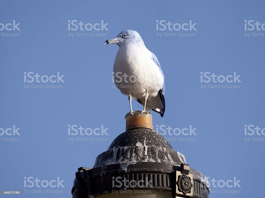 Seagull on lantern. royalty-free stock photo