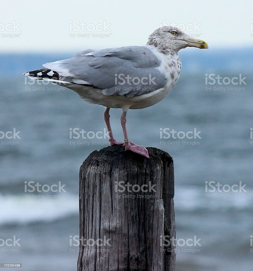 Seagull on Pole royalty-free stock photo
