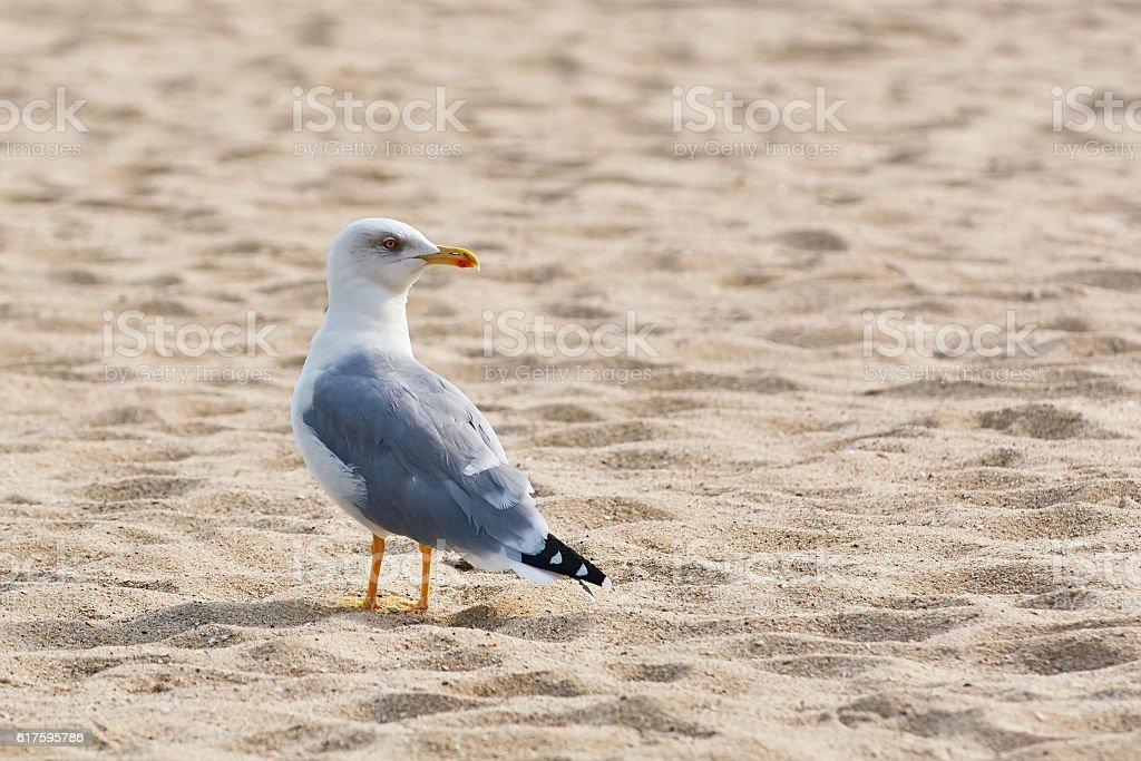 Seagull on Sand stock photo