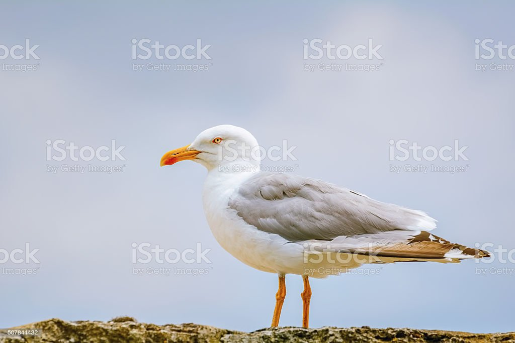 Seagull on the Fence stock photo