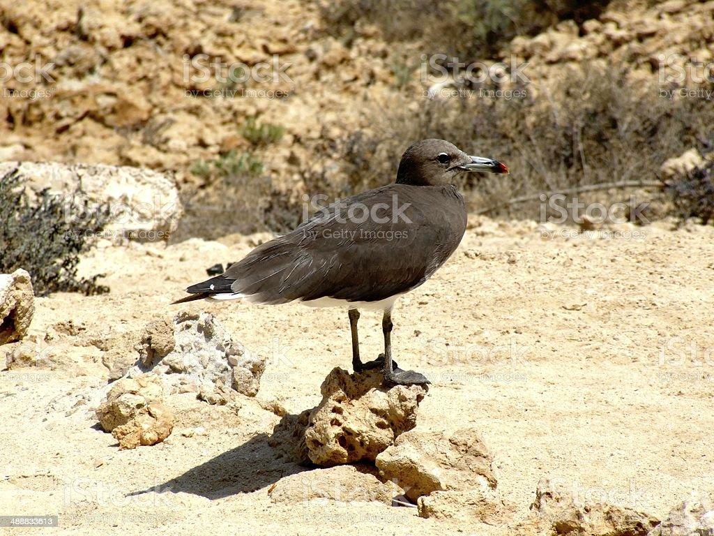 Seagull on the Moucha Island royalty-free stock photo