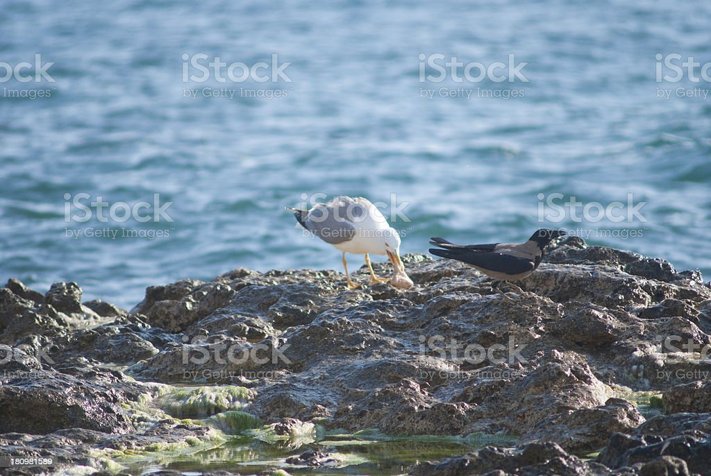 Seagull on the rocks of a rough coastline royalty-free stock photo