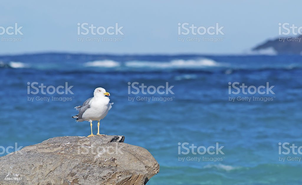 seagull on the rocks stock photo
