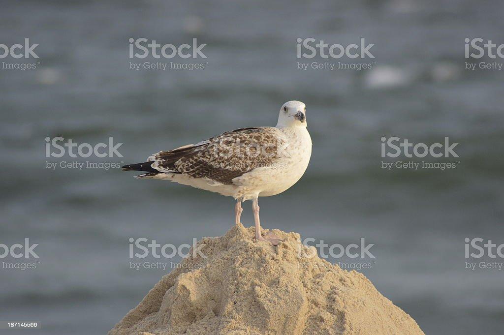 Mouette sur la plage photo libre de droits
