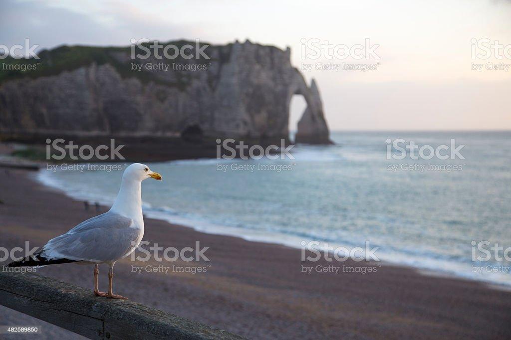 seagull on the shore of etretat during sunset stock photo