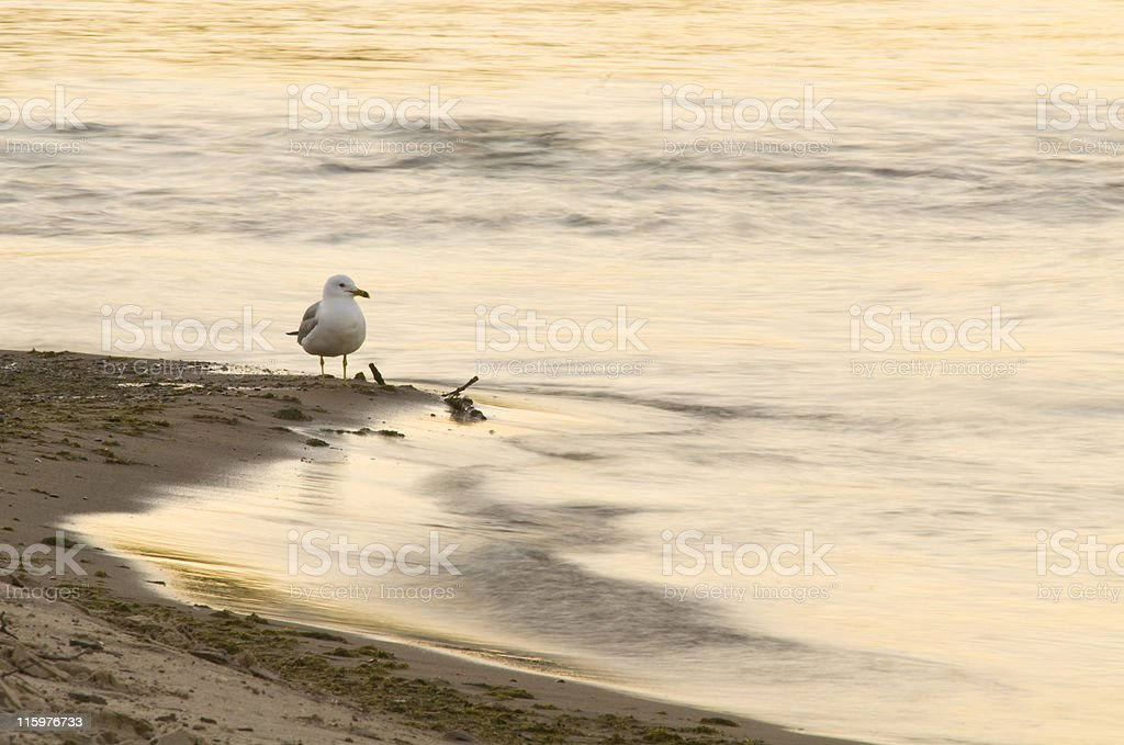 Seagull on the Shore royalty-free stock photo