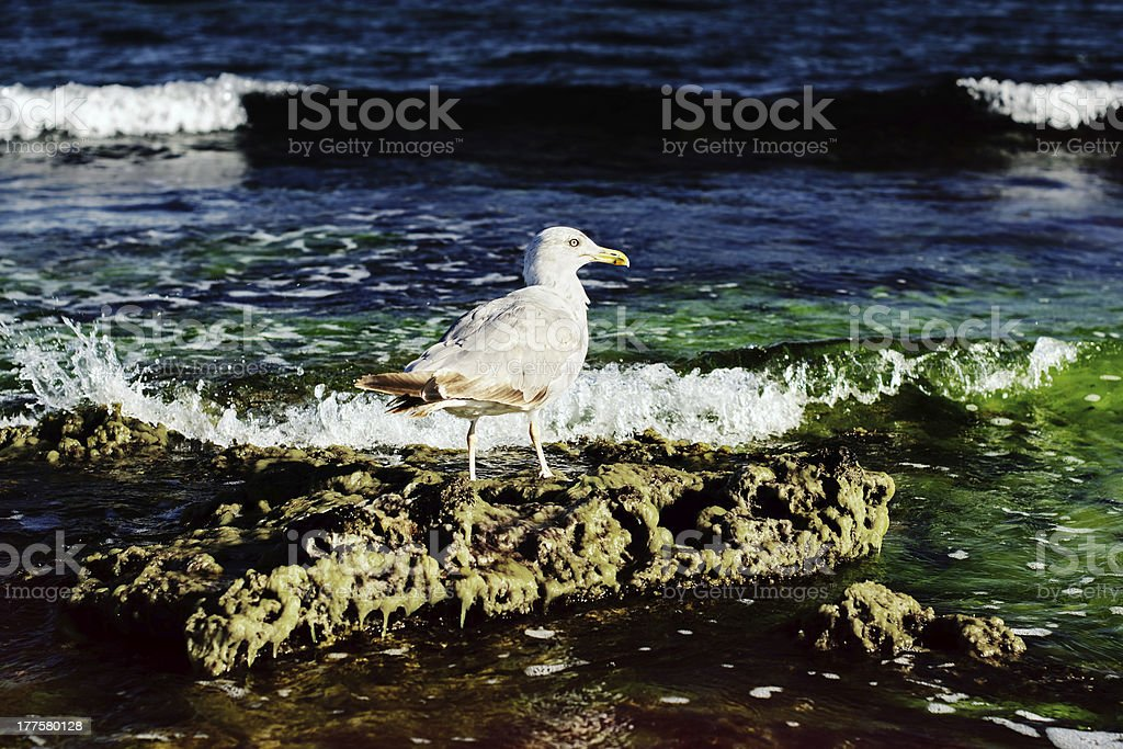 Seagull on the stone stock photo