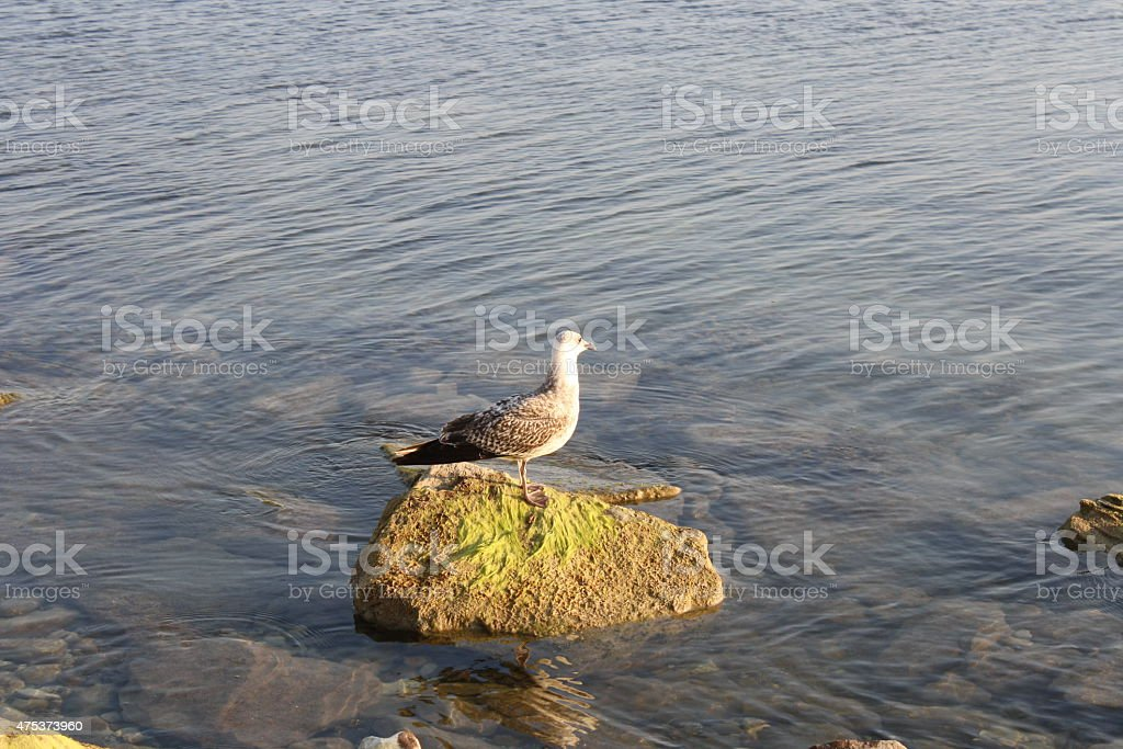 Seagull on the stone royalty-free stock photo