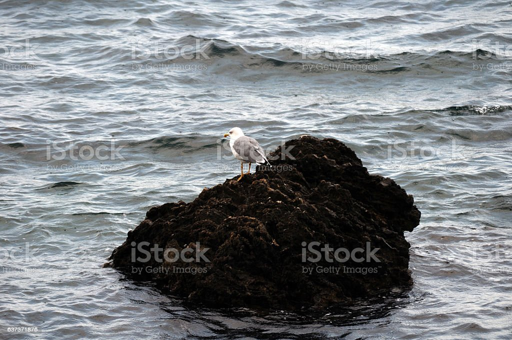 Seagull on top of rock stock photo