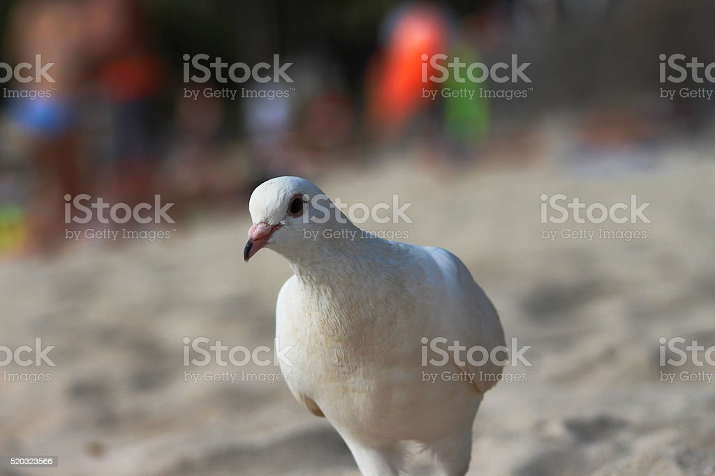 Seagull on Waikiki Beach royalty-free stock photo