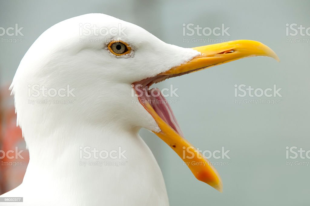 Seagull opening its beak stock photo