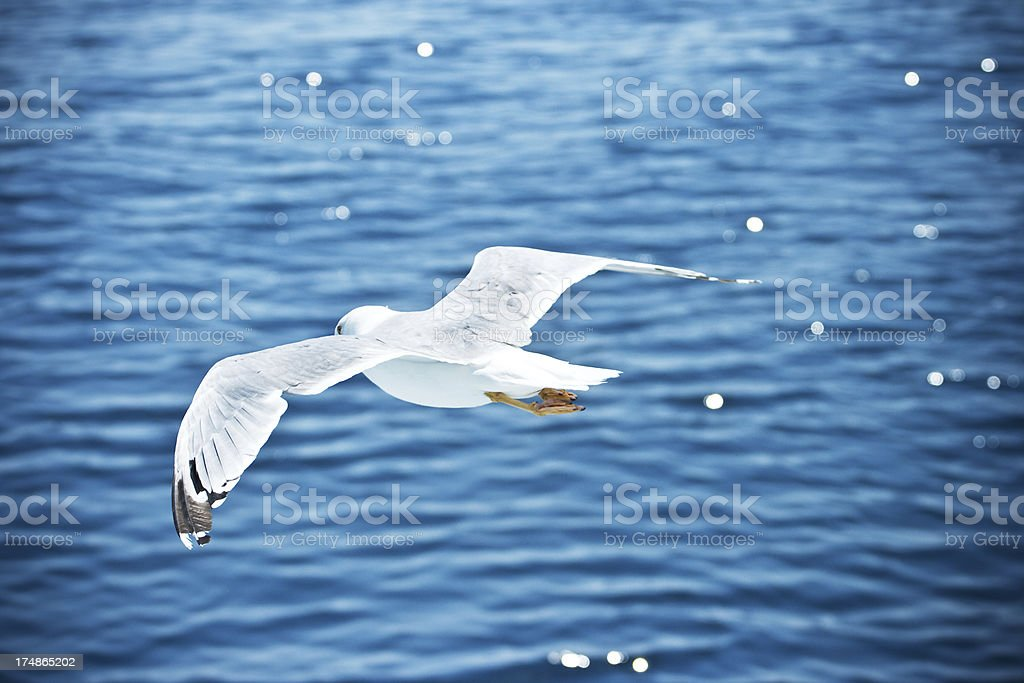Seagull over sea flight royalty-free stock photo
