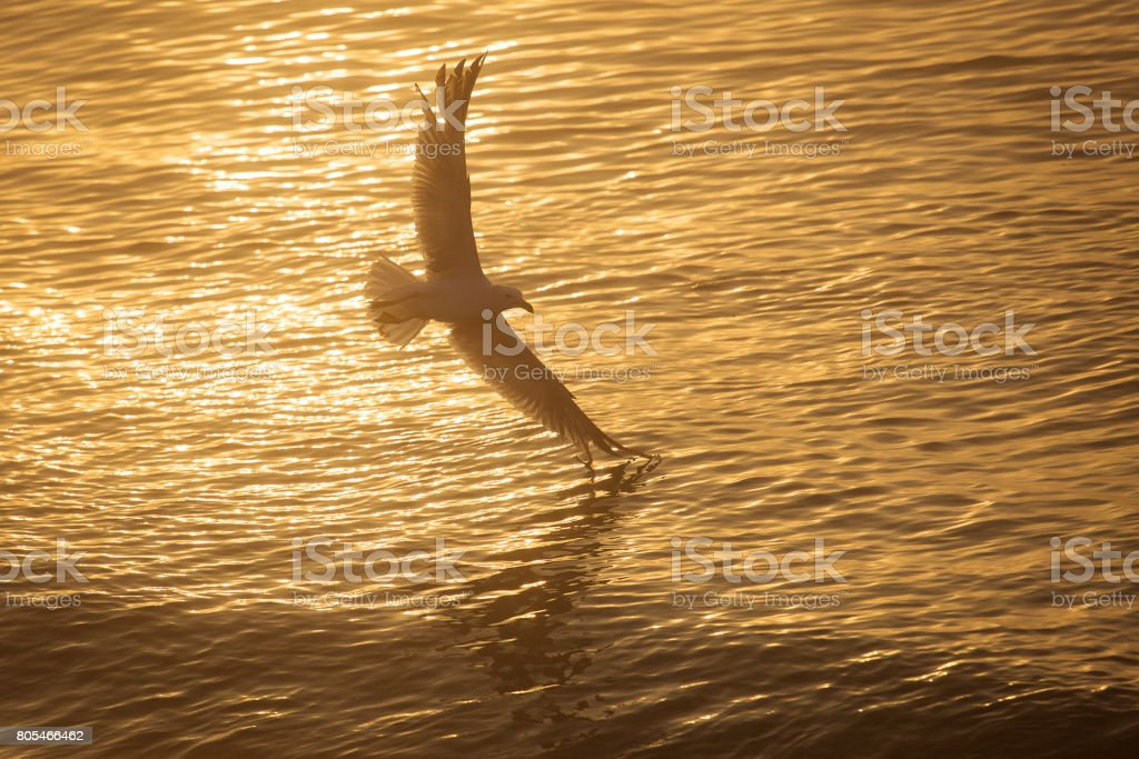 Seagull over the water on sunrise stock photo