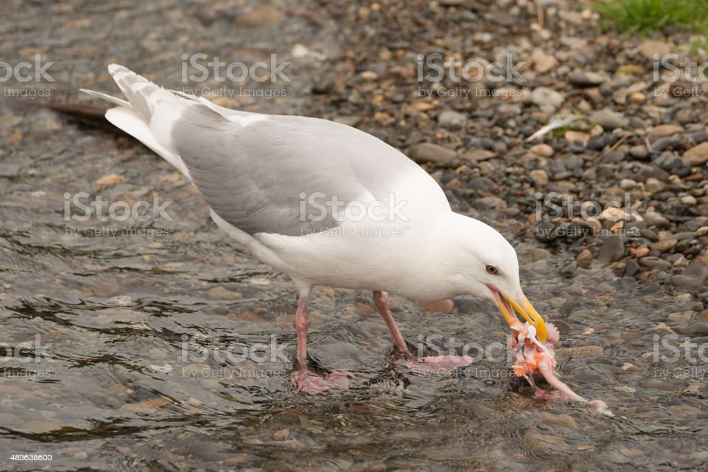 Seagull pecking at salmon chunk in shallows stock photo