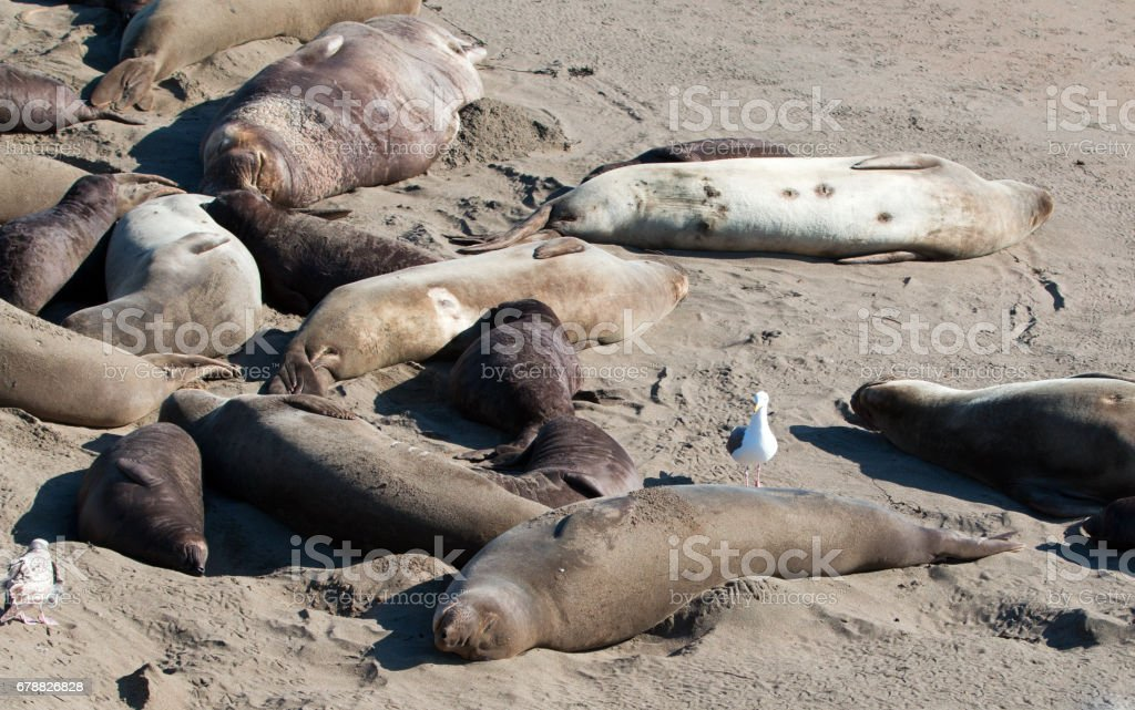 Seagull perched on Northern Elephant Seal at the Piedras Blancas Elephant Seal colony on the Central Coast of California USA stock photo