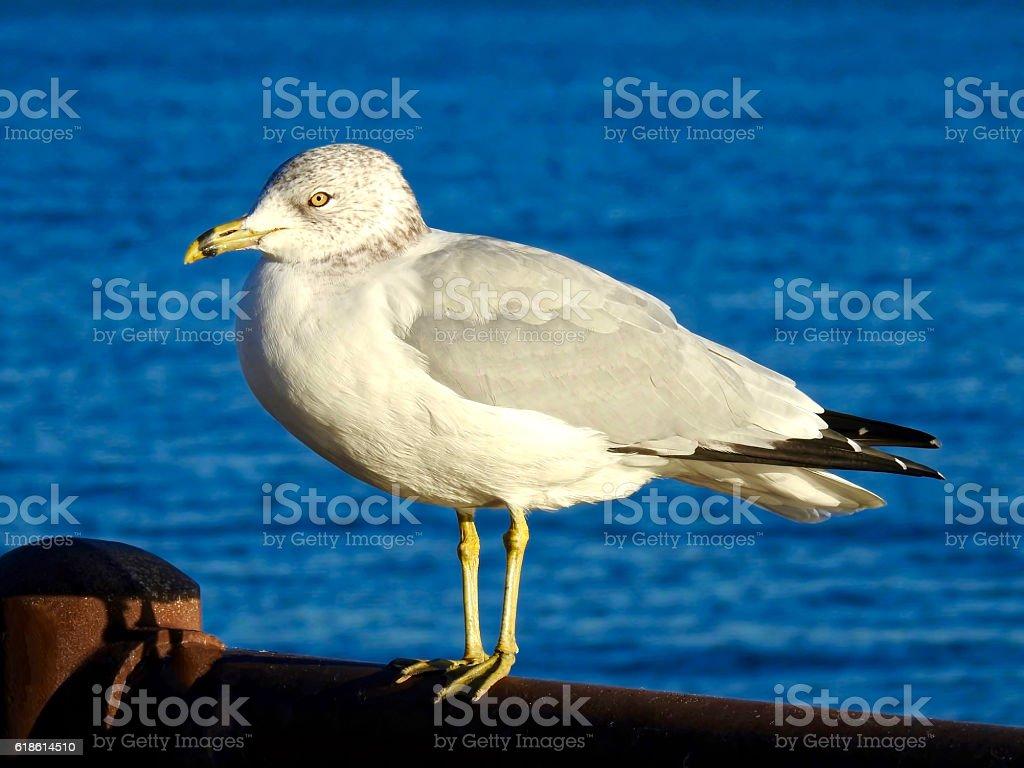 Seagull Perching stock photo