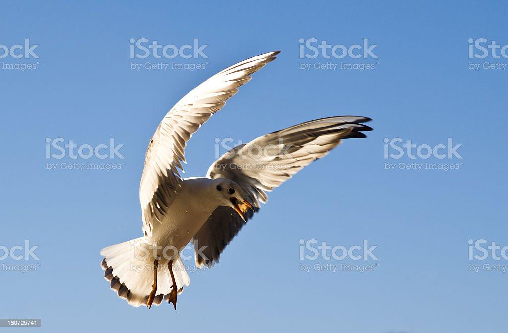 seagull royalty-free stock photo