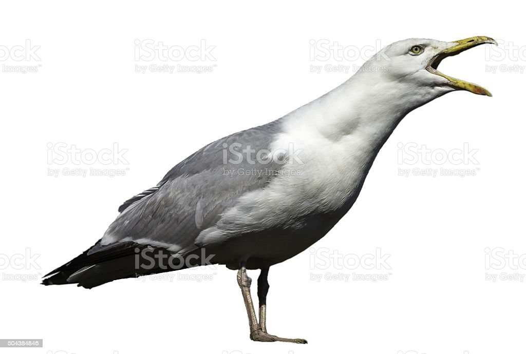 Seagull (Isolated) stock photo