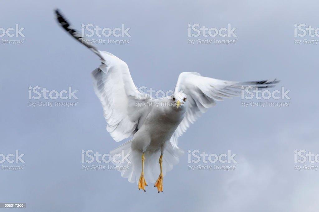 Seagull. stock photo