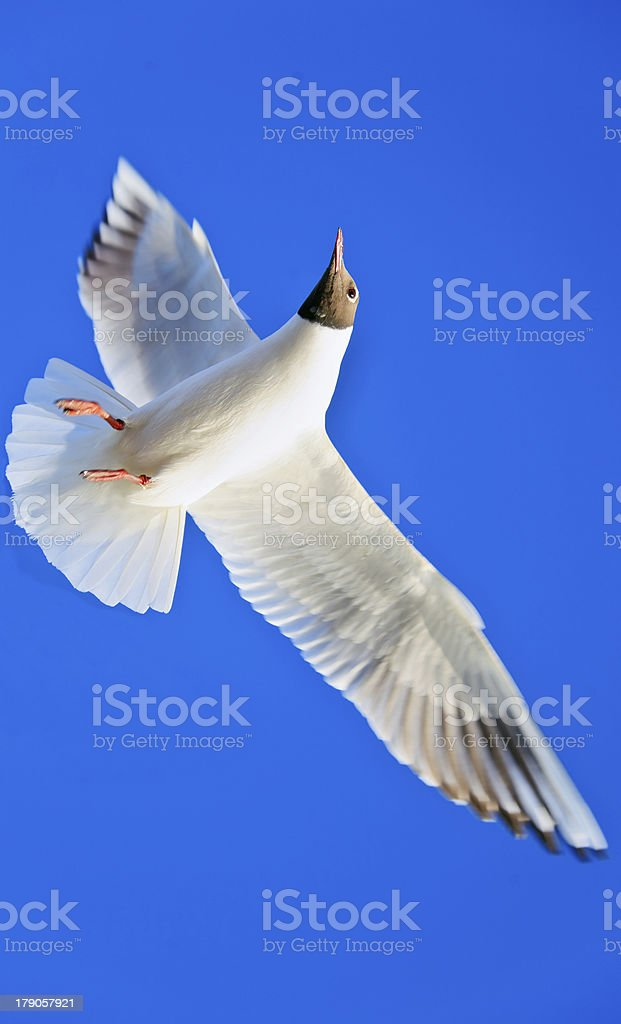 Seagull Rich blue Cloudless sky stock photo