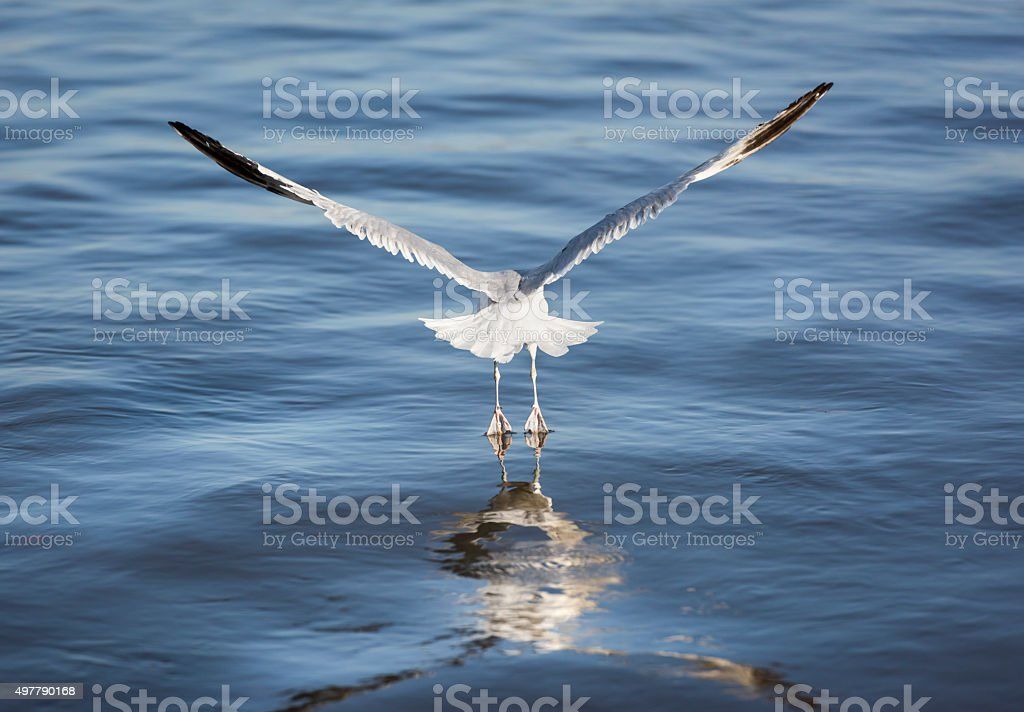Seagull Rising off the Hudson River stock photo