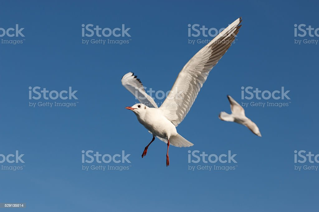 Seagull - Sea Bird stock photo