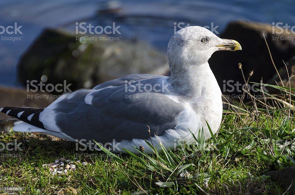 Seagull Sitting in the Grass royalty-free stock photo