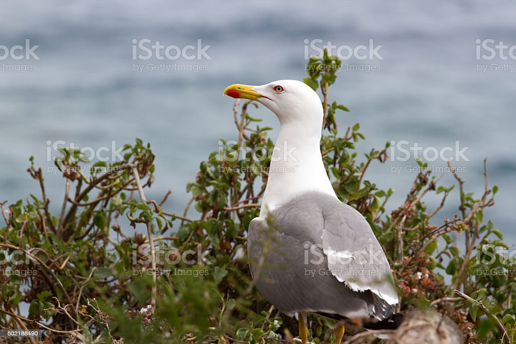 Seagull (Larus argentatus) sitting in the grass stock photo