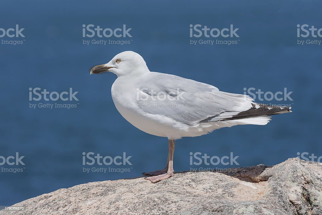 Seagull sitting on a rock near the sea royalty-free stock photo