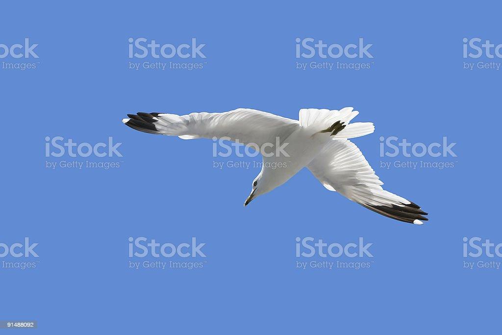 Mouette majestueux librement dans le ciel bleu photo libre de droits