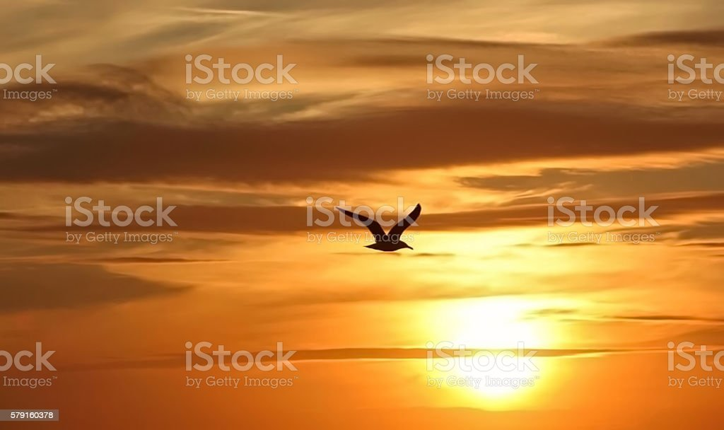 Seagull Soaring Into Sunset stock photo