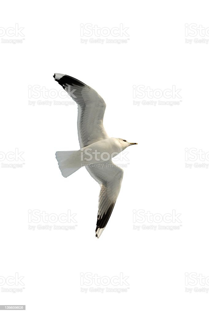 Seagull soaring royalty-free stock photo