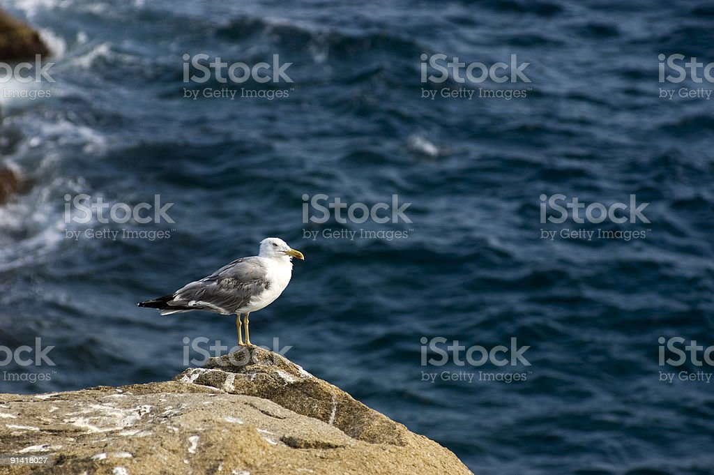 Solitaire seagull stock photo