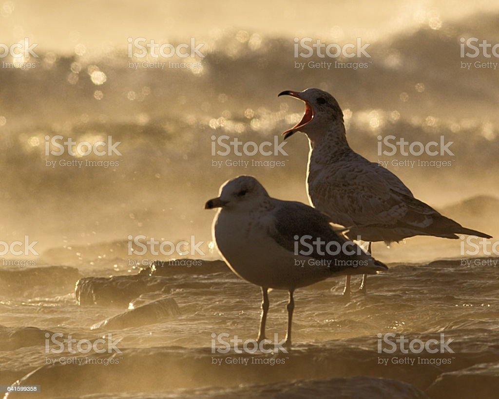 Seagull Squawking Angrily Morning Surf Mist stock photo