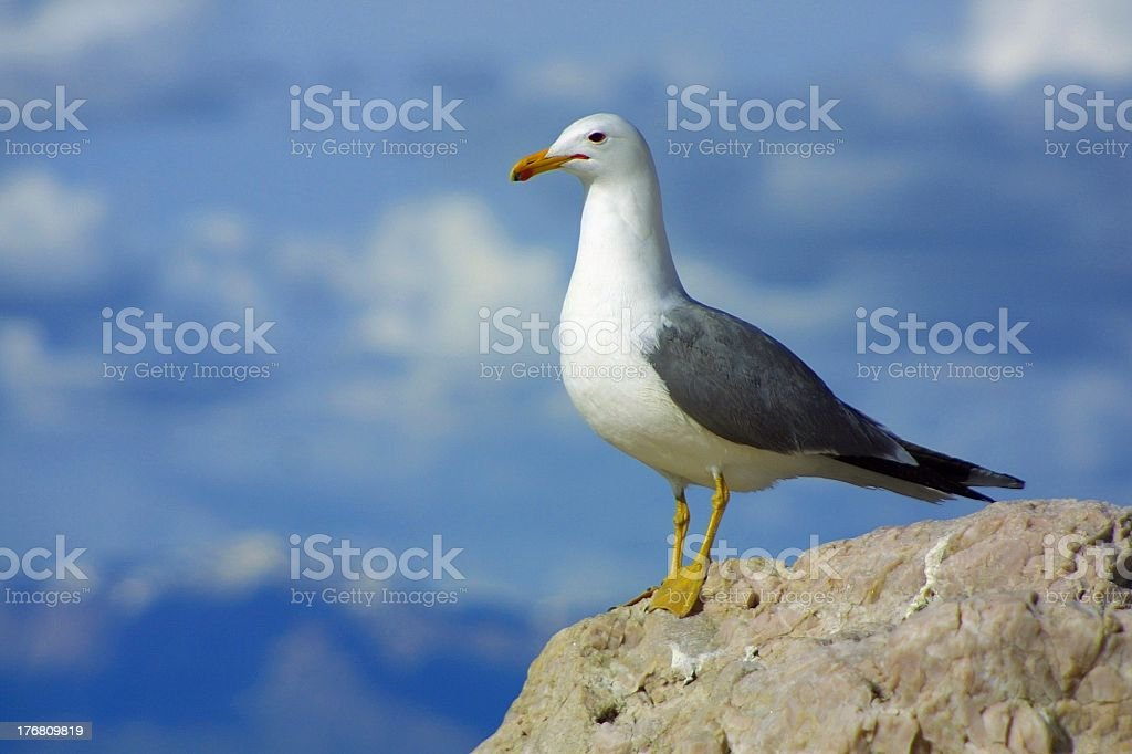 Seagull standing alone, close-up front view royalty-free stock photo