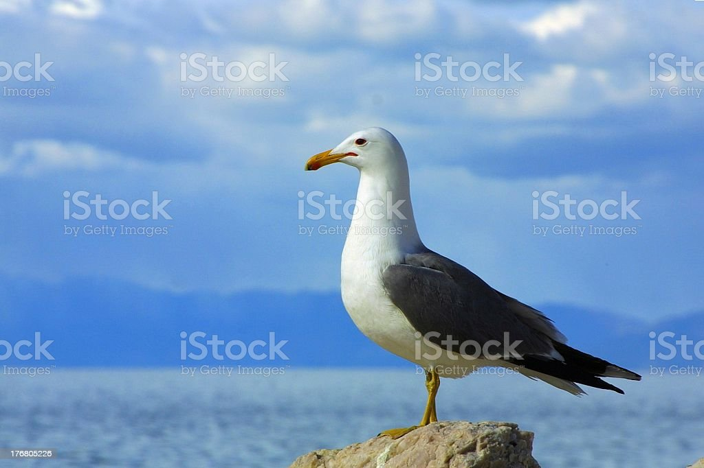 Seagull standing alone, side view royalty-free stock photo