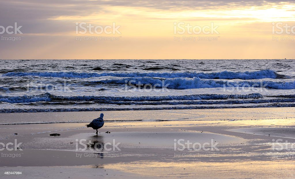 Seagull standing at the shoreline with water in background. stock photo