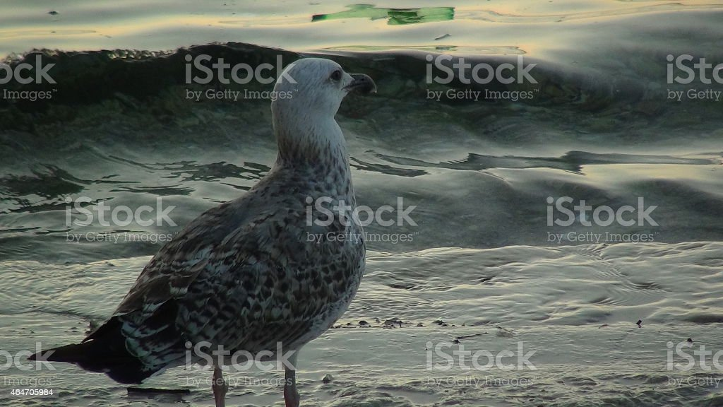 Seagull standing infront of a wave stock photo