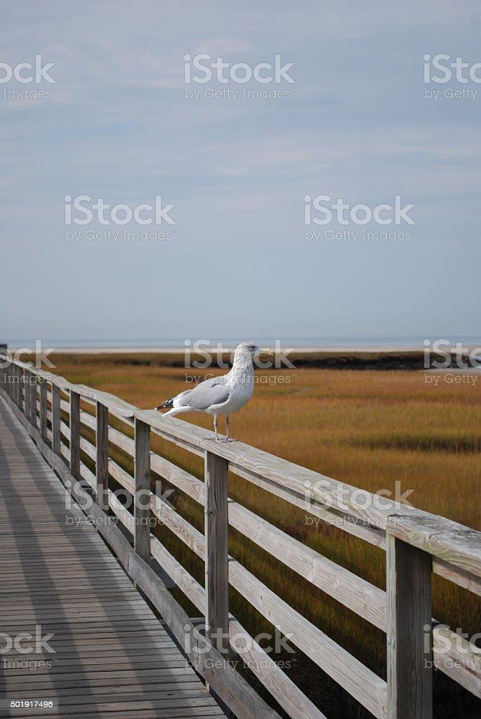 Seagull standing on boardwalk stock photo