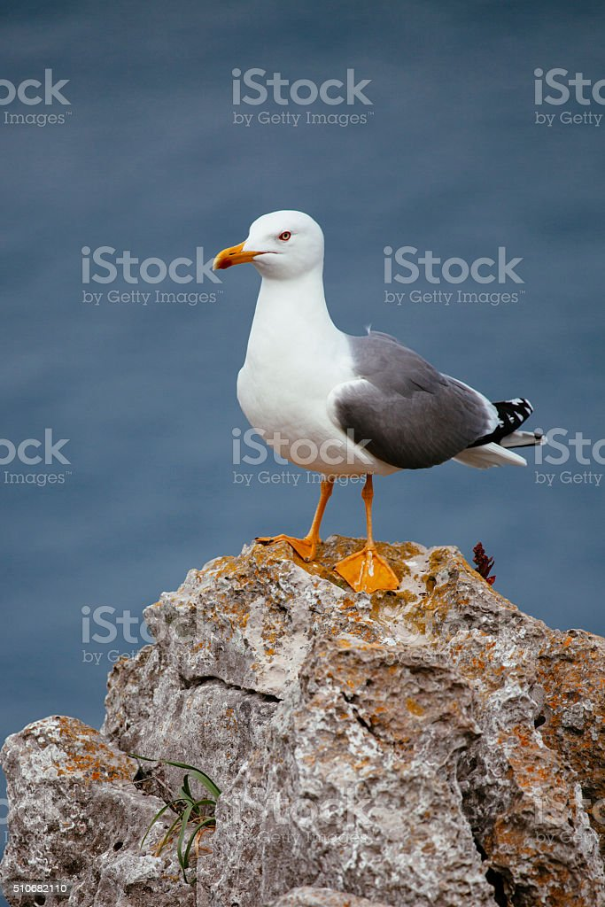 Seagull standing on rock stock photo