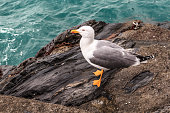 Seagull standing on rock.