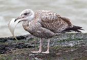 seagull swallows a flounder
