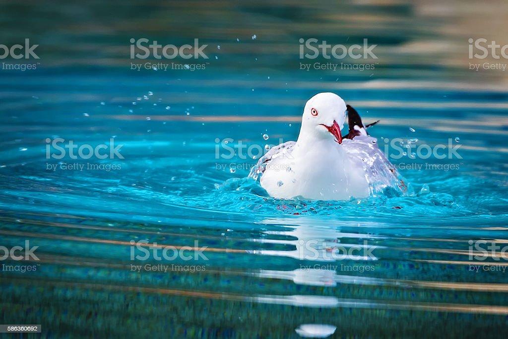 Seagull swimming stock photo