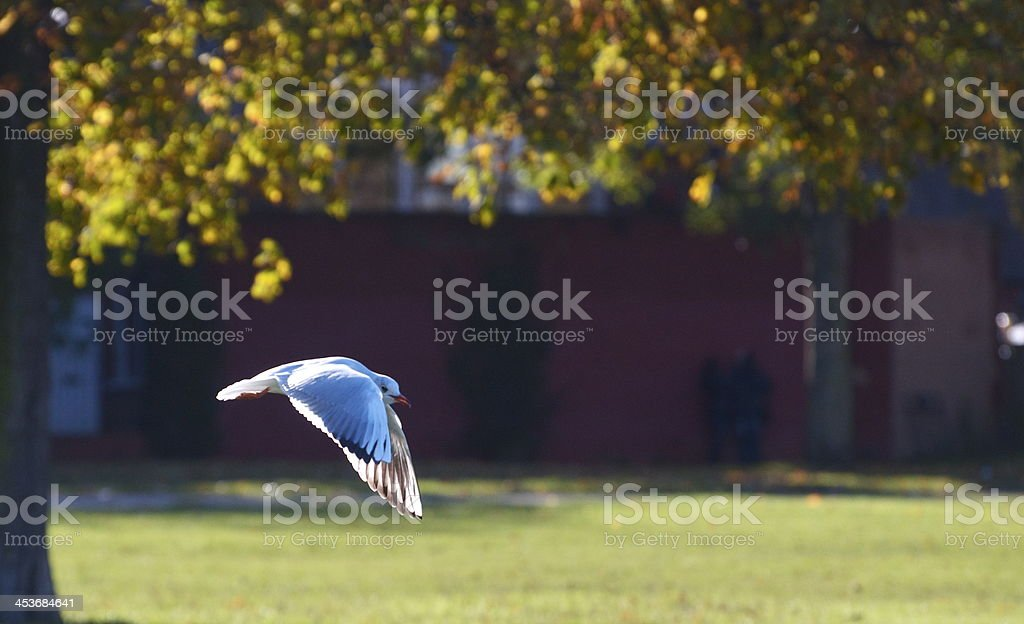 Seagull swooping stock photo