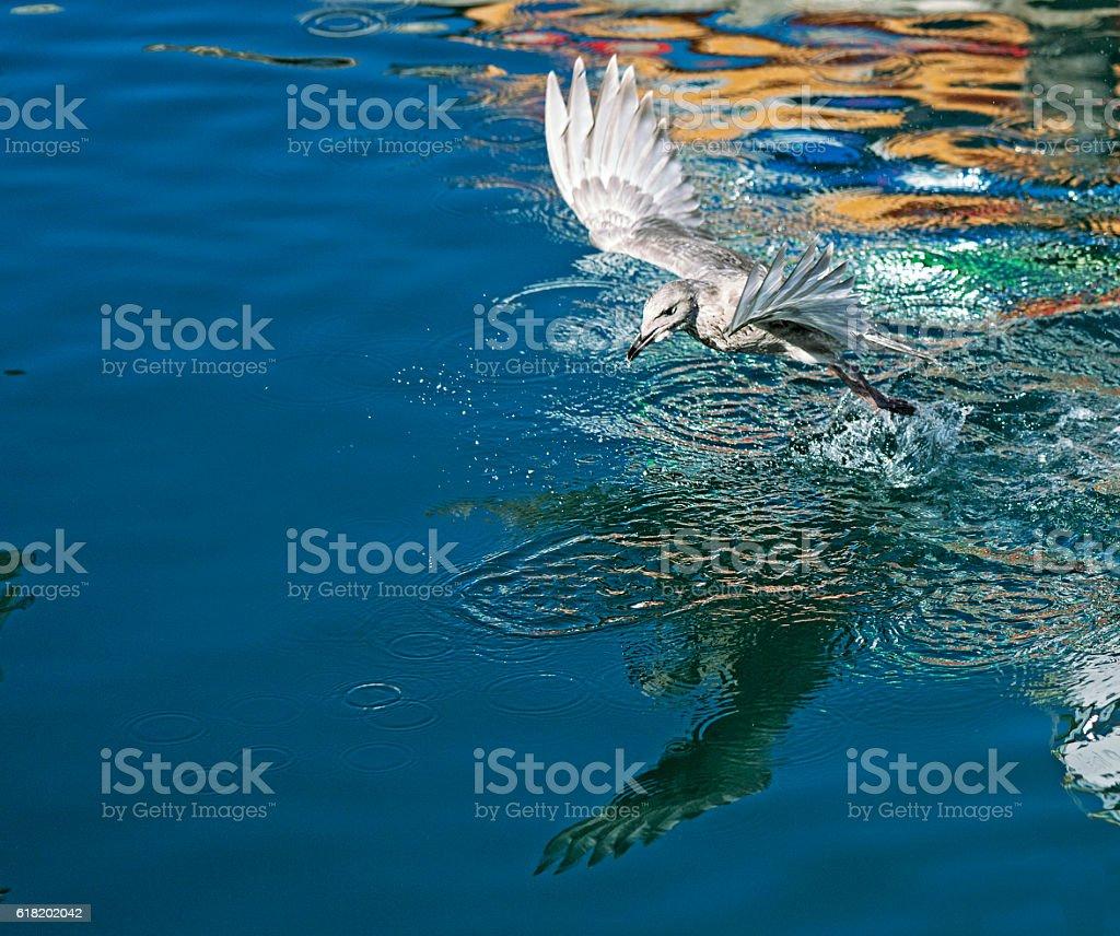 Seagull taking flight, water splashing stock photo