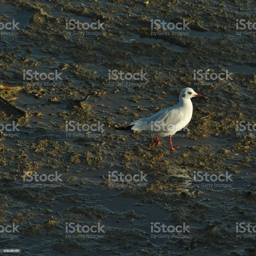 Seagull walking during low tide stock photo