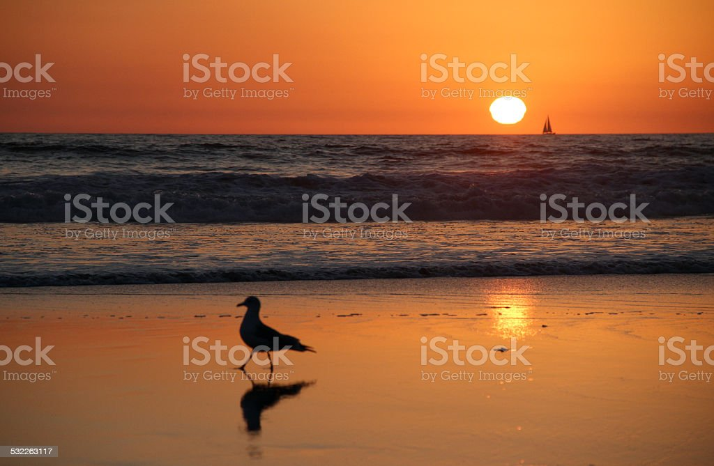 Seagull Walks on Santa Monica Beach at Sunset with Sailboat stock photo