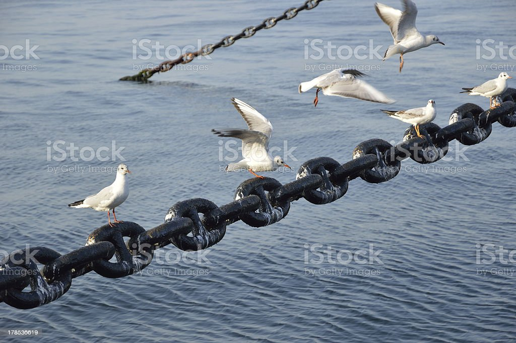 Seagull which takes wing royalty-free stock photo